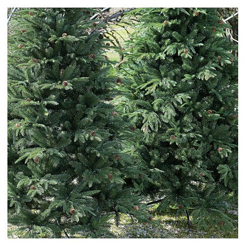 STOCK Austrian Fir Christmas tree 240 cm with pinecones for outdoor 2